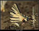 Title: Iphiclides podalirius-different approach