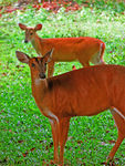 Title: Pair of Barking Deer