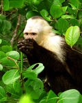 Title: White Faced Capuchin