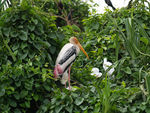 Title: Painted Stork and younglings