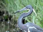 Title: Tricolored Heron