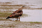 Title: Brahmini kite about to drink