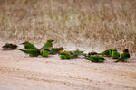 Title: Dustbath of bee eaters