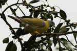 Title: Yellow footed Green Pigeon
