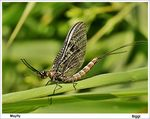 Title: Mayfly