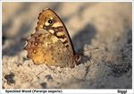 Title: speckled wood (Pararge aegeria)