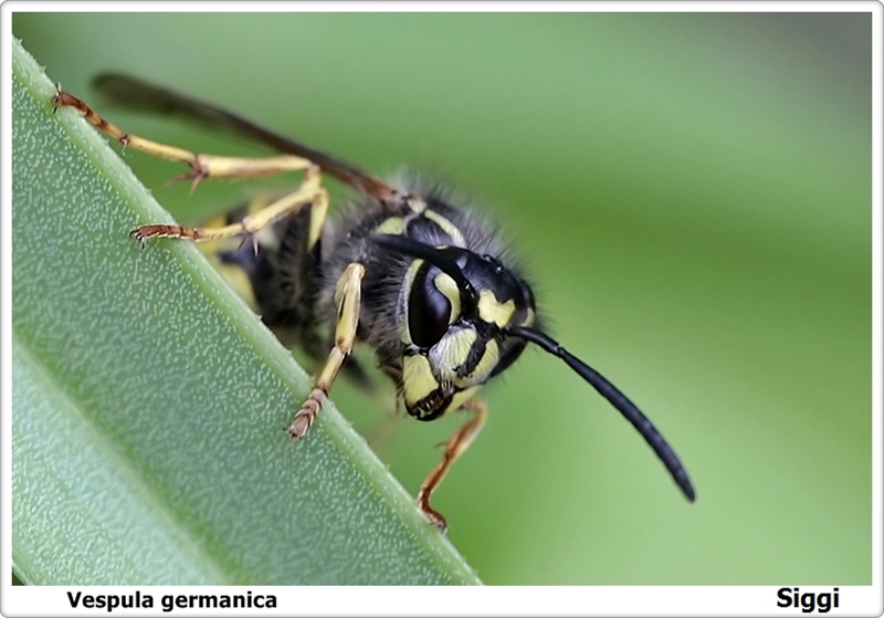 Wasp germanica