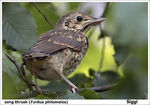 Title: song thrush (Turdus philomelos)