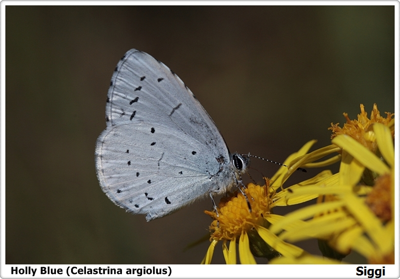 Holly Blue (Celastrina argiolus