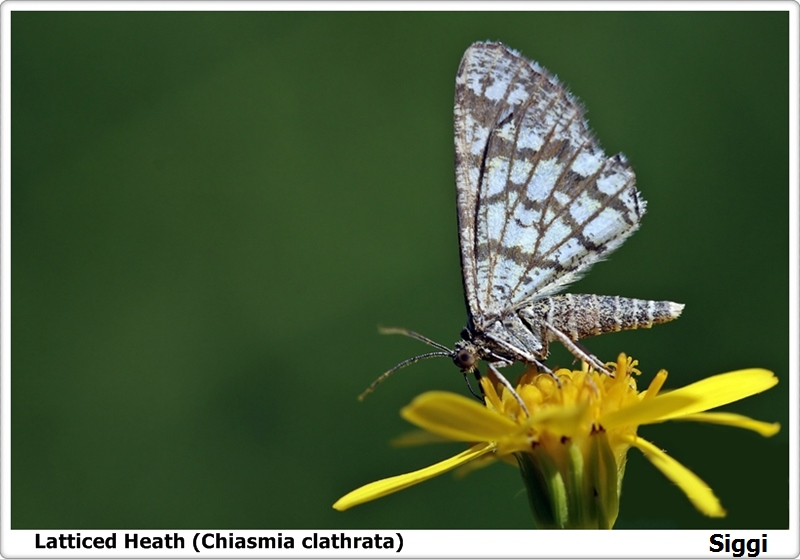Latticed Heath (Chiasmia clathrata