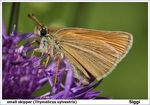 Title: small skipper (Thymelicus sylvestris)