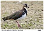 Title: northern lapwing (Vanellus vanellus)