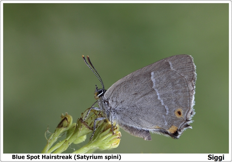 Blue Spot Hairstreak (Satyrium spini)