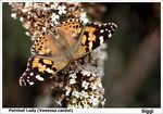 Title: Painted lady (V. cardui)