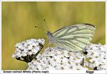 Title: Green-veined White (Pieris napi)