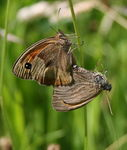 Title: Meadow brown double