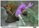 Title: Meadow Brown mating