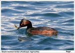 Title: Black-necked Grebe