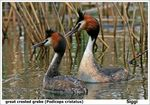 Title: great crested grebe (Podiceps cristatus)