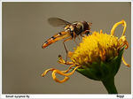 Title: Small syrphid fly
