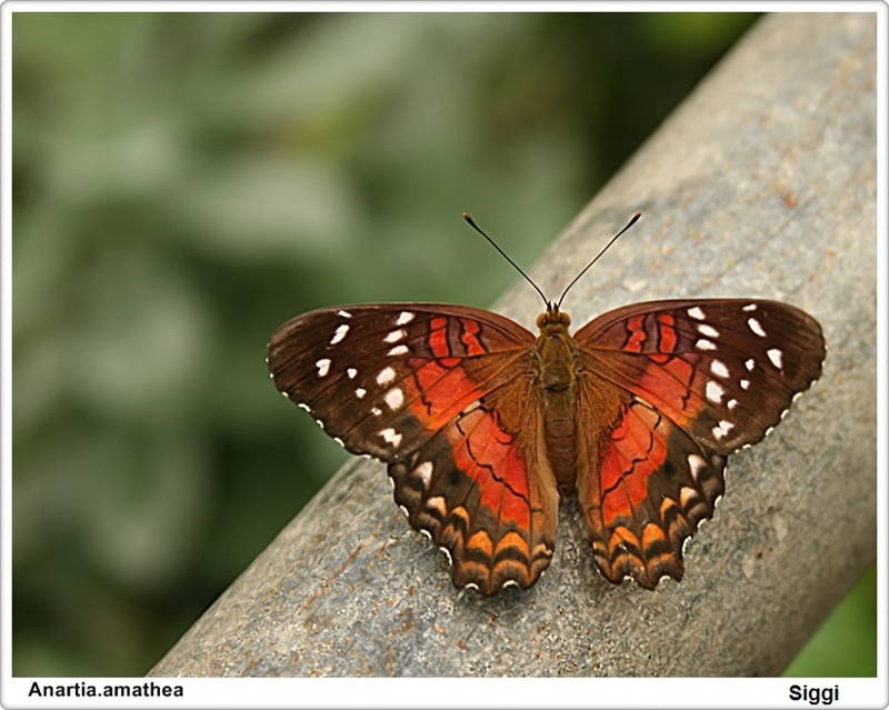 Brown Peacock