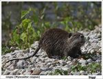 Title: The coypu