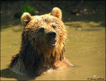 Title: European Brown Bear