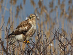 Title: Long-legged Buzzard