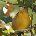 Title: Baltimore Oriole in Tree