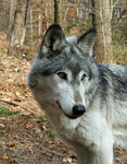 Title: Gray Wolf