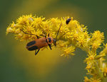 Title: Margined Soldier Beetle