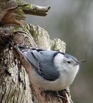 Title: Nuthatch - White Breasted