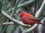 Title: Red Billed Fire Finch