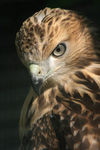 Title: Young Red Tailed HawkCannon EOS Rebel XTi