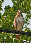 Title: RedTailed Hawk