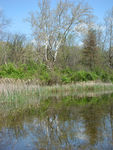 Title: Tree Reflecting in the pond