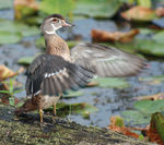 Title: Juvenile Wood Duck at the Marsh