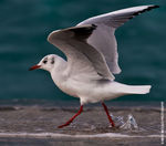Title: Black-Headed Gull.