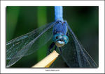 Title: Dragonfly.