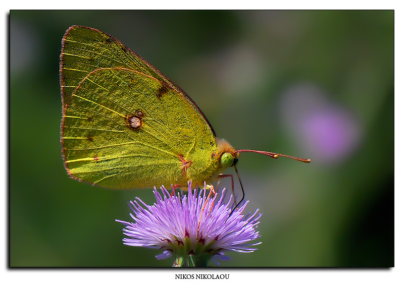 Dark Clouded Yellow.