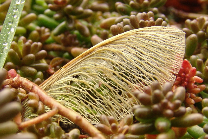 Acer seed