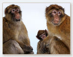 Title: Barbary Macaques