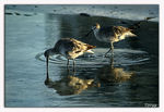 Title: Willets