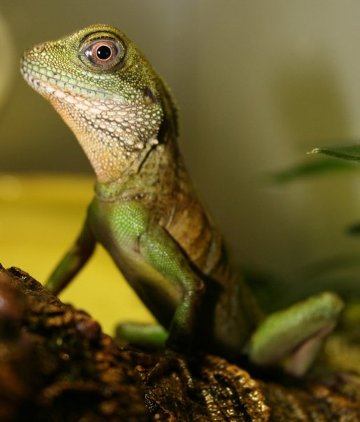 Gibson the Chinese Water Dragon