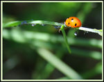 Title: Coccinella and friends