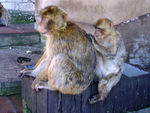 Title: Gibraltar Barbary Macaques
