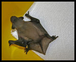 Title: Cucciolo di Pipistrello - Little Bat