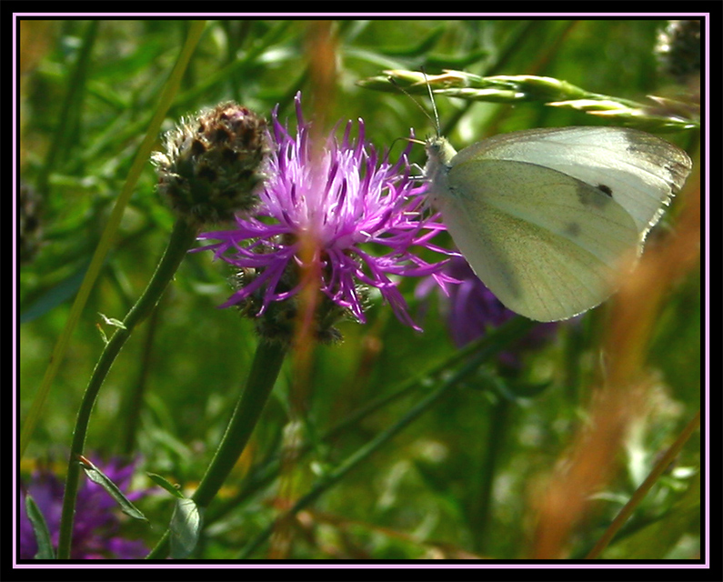 Pieris brassicae - First Butterfly shot