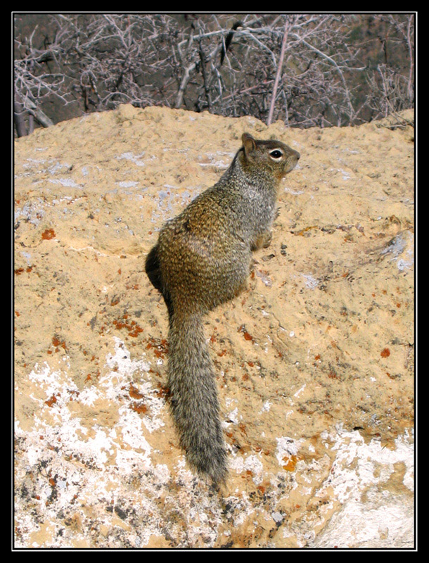 Rock Squirrel from Grand Canyon
