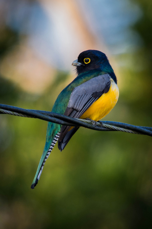 Gartered Trogon on a wire